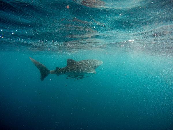 Gibt es in Kroatien Haie?