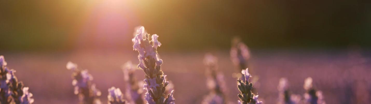 Hvar Lavendel